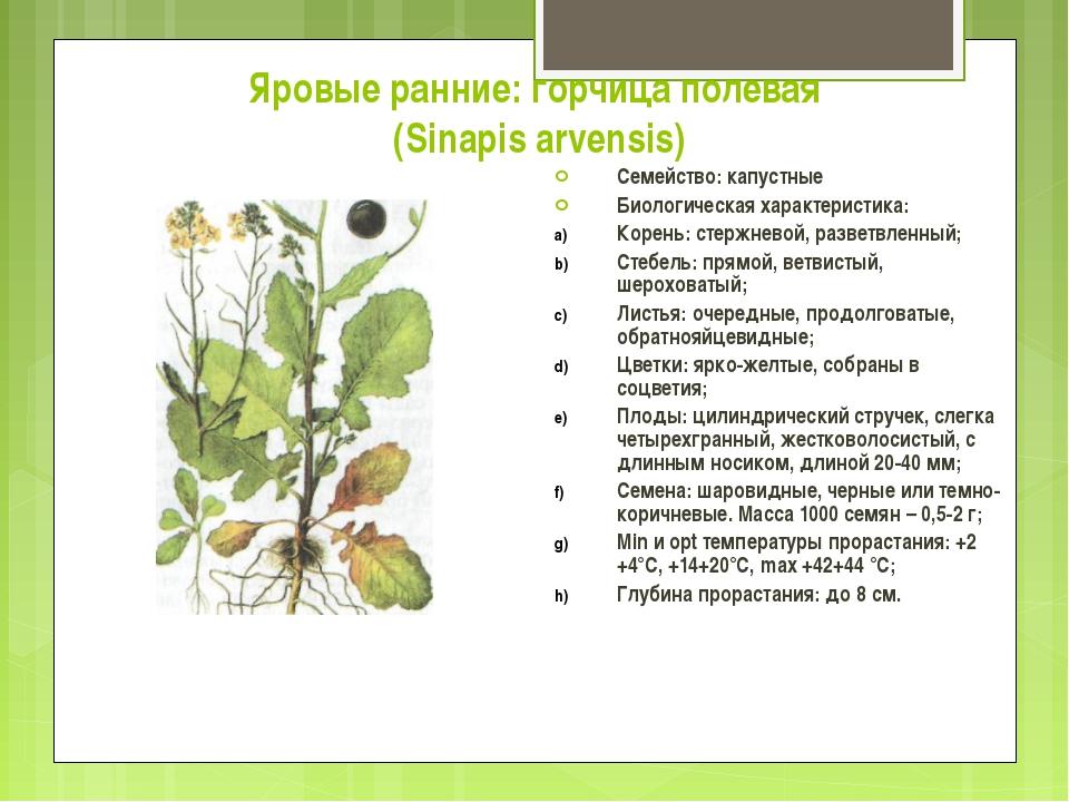 Яровые ранние: горчица полевая (Sinapis arvensis) Семейство: капустные Биолог...
