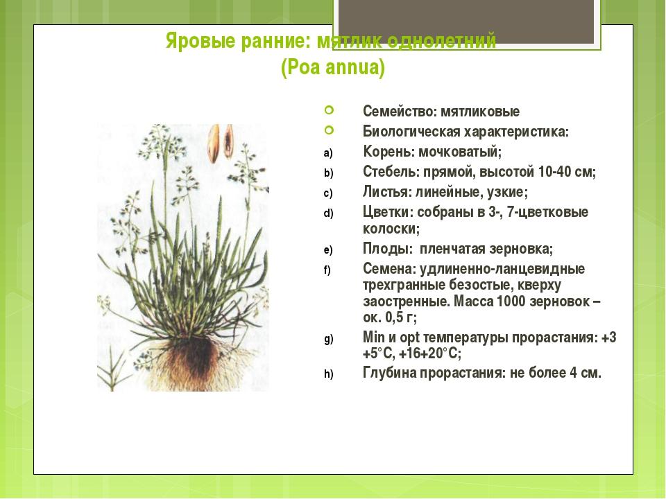 Яровые ранние: мятлик однолетний (Poa annua) Семейство: мятликовые Биологичес...