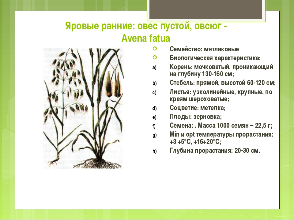 Яровые ранние: овес пустой, овсюг - Avena fatua Семейство: мятликовые Биологи...