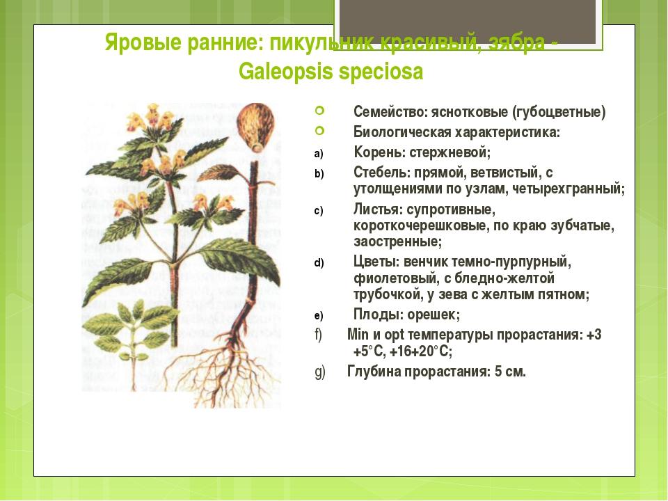 Яровые ранние: пикульник красивый, зябра - Galeopsis speciosa Семейство: ясно...