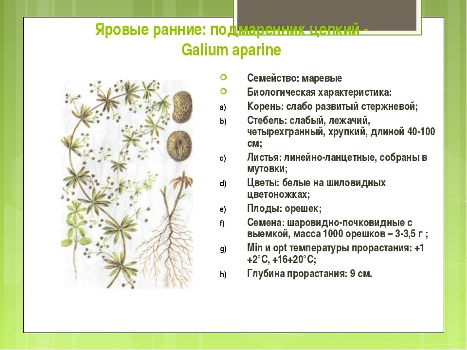 Яровые ранние: подмаренник цепкий - Galium aparine Семейство: маревые Биологи...