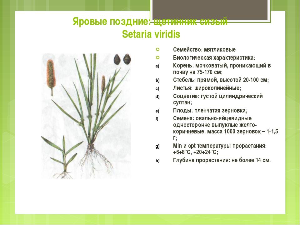 Яровые поздние: щетинник сизый Setaria viridis Семейство: мятликовые Биологич...