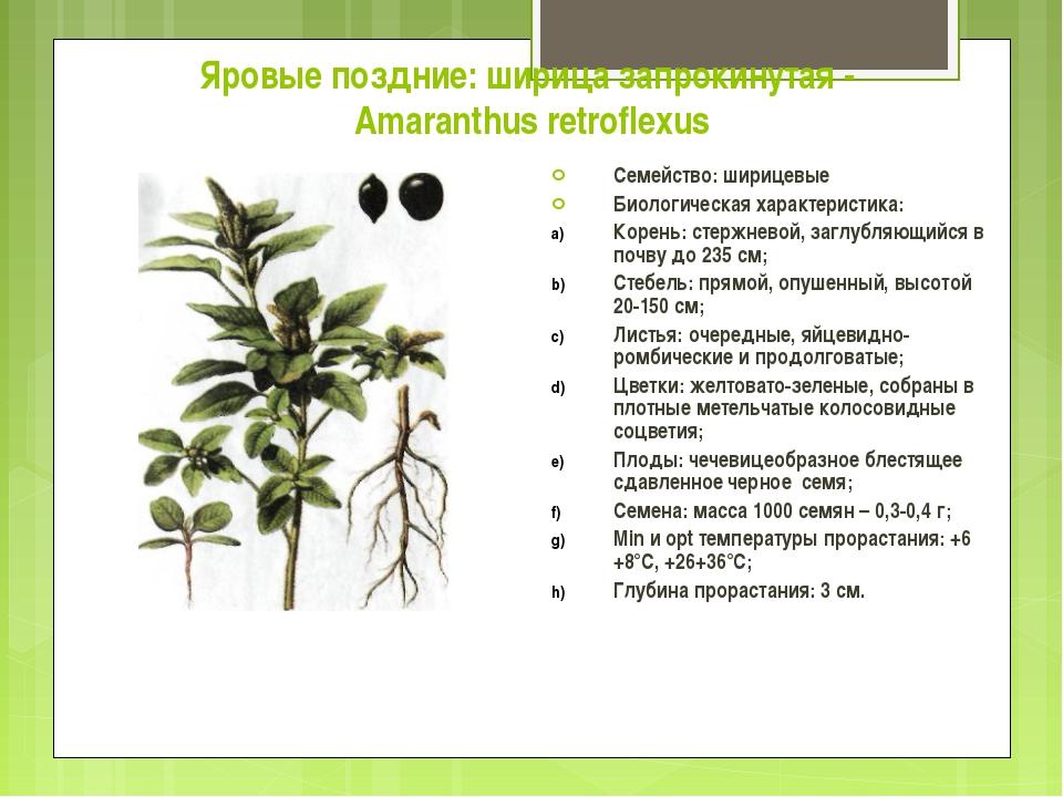 Яровые поздние: ширица запрокинутая - Amaranthus retroflexus Семейство: шириц...