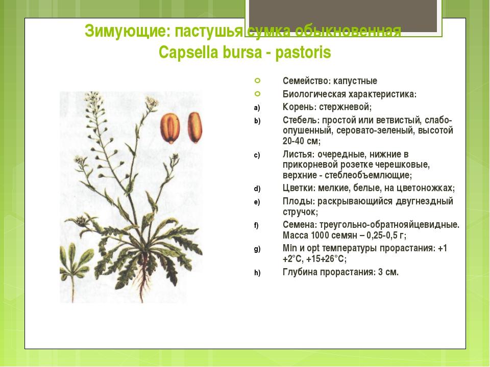 Зимующие: пастушья сумка обыкновенная Capsella bursa - pastoris Семейство: ка...