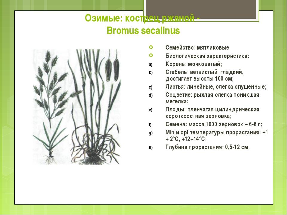 Озимые: кострец ржаной - Bromus secalinus Семейство: мятликовые Биологическая...