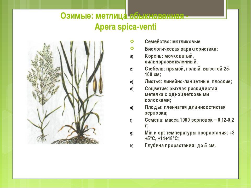 Озимые: метлица обыкновенная - Apera spica-venti Семейство: мятликовые Биолог...