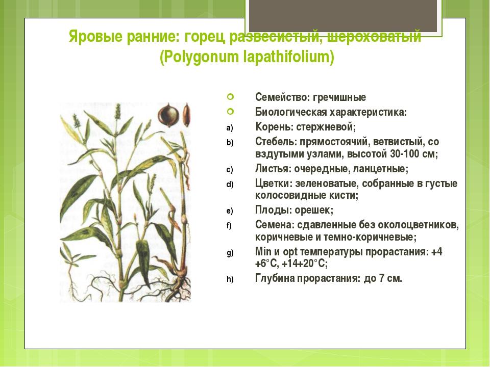 Яровые ранние: горец развесистый, шероховатый (Polygonum lapathifolium) Семей...