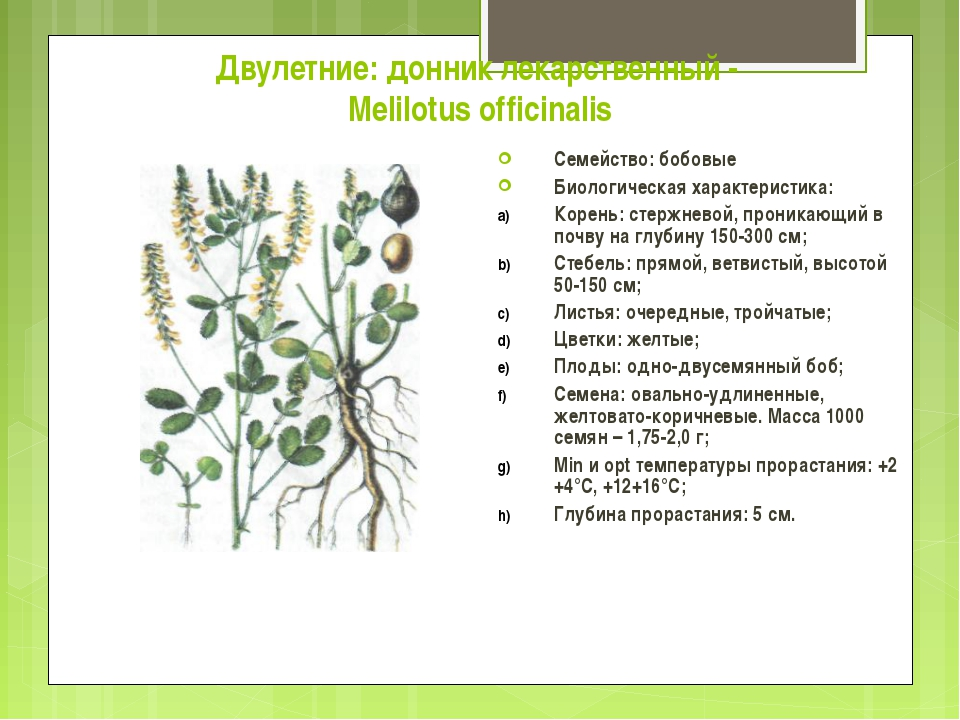 Двулетние: донник лекарственный - Melilotus officinalis Семейство: бобовые Би...