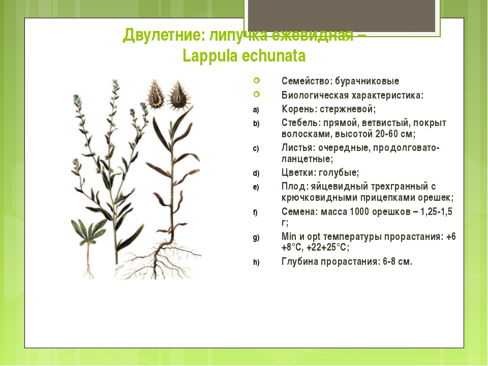 Двулетние: липучка ежевидная – Lappula echunata Семейство: бурачниковые Биоло...