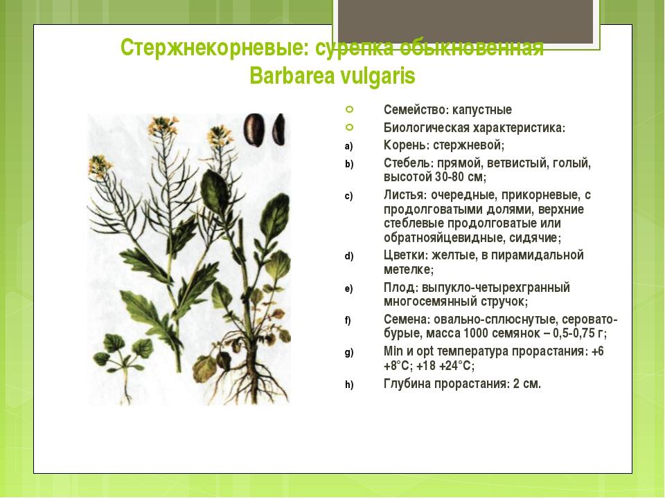 Стержнекорневые: сурепка обыкновенная Barbarea vulgaris Семейство: капустные...