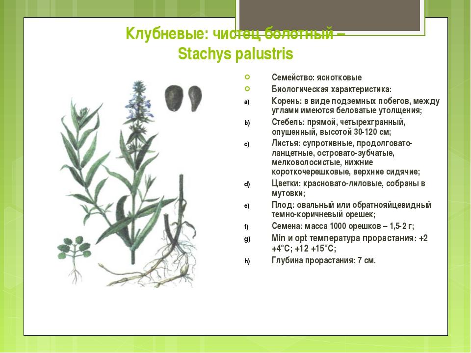 Клубневые: чистец болотный – Stachys palustris Семейство: яснотковые Биологич...