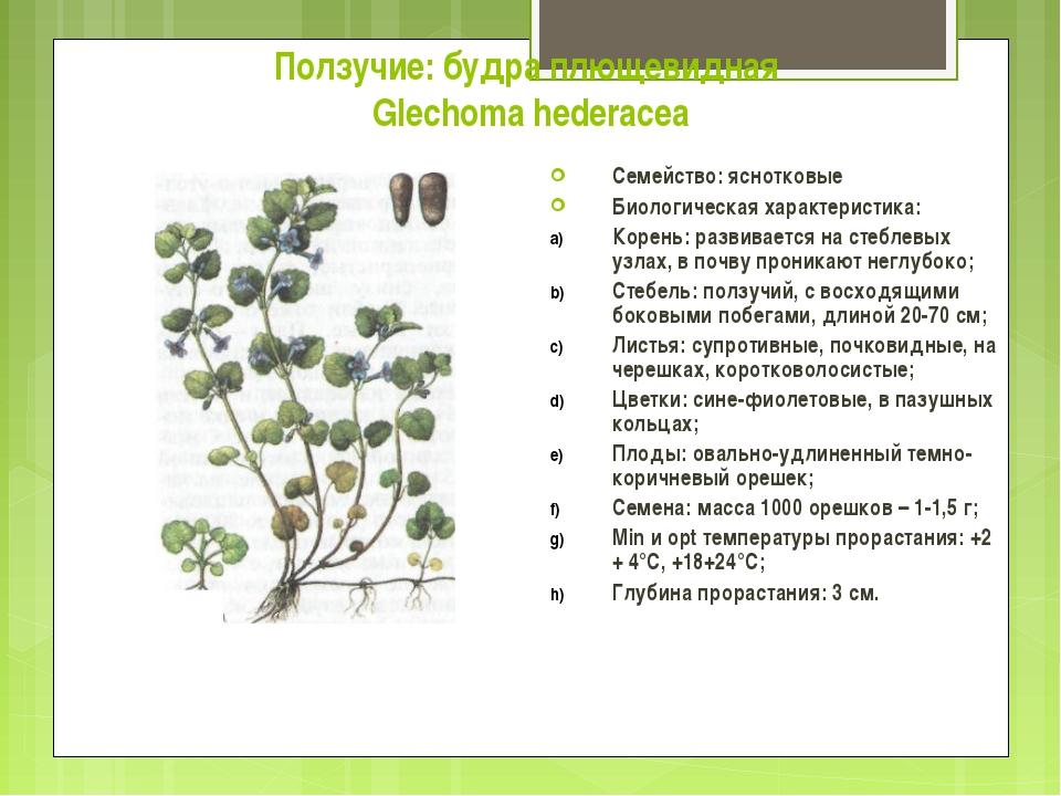 Ползучие: будра плющевидная Glechoma hederacea Семейство: яснотковые Биологич...