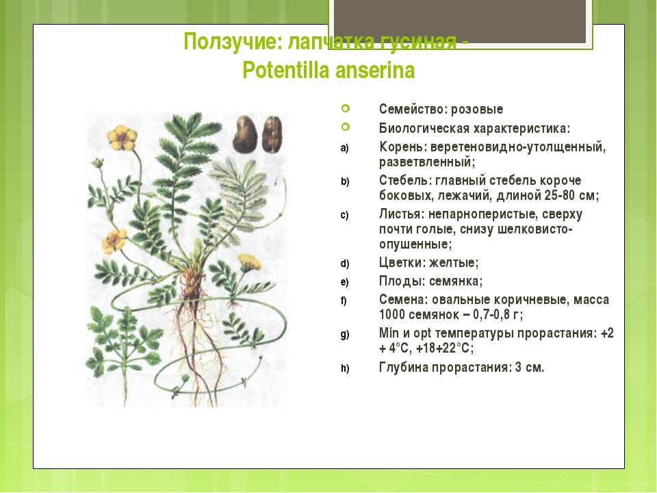 Ползучие: лапчатка гусиная - Potentilla anserina Семейство: розовые Биологиче...