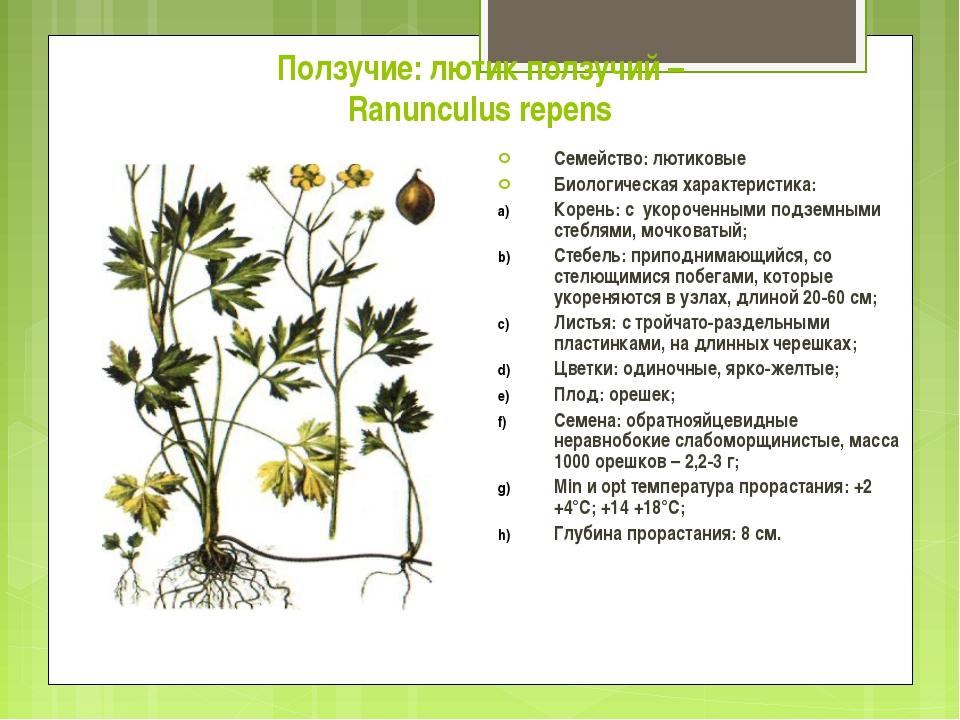 Ползучие: лютик ползучий – Ranunculus repens Семейство: лютиковые Биологическ...
