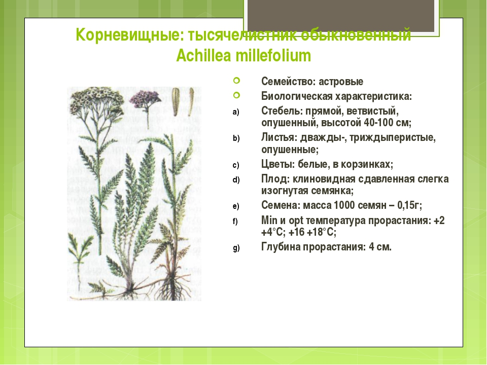 Корневищные: тысячелистник обыкновенный Achillea millefolium Семейство: астро...