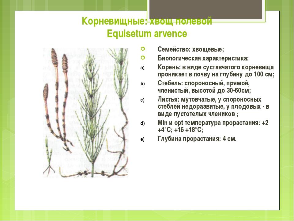 Корневищные: хвощ полевой Equisetum arvence Семейство: хвощевые; Биологическа...
