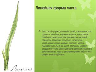 Лист такой формы длинный и узкий, жилкование, как правило, линейное, неразвет