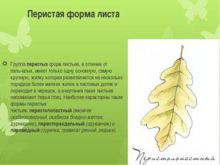 Перистая форма листа Группаперистыхформ листьев, в отличие от пальчатых, им