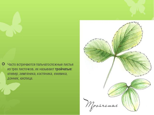 Часто встречаются пальчатосложные листья из трех листочков, их называюттрой...