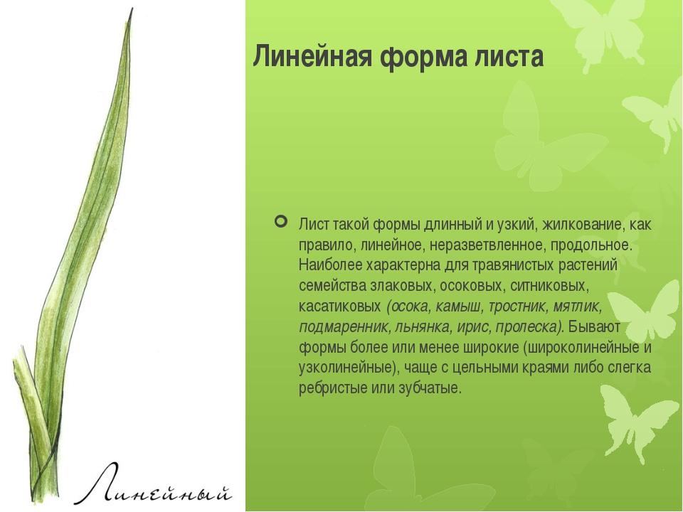 Лист такой формы длинный и узкий, жилкование, как правило, линейное, неразвет...
