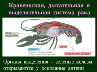 Кровеносная, дыхательная и выделительная система рака Органы выделения - зеле