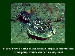 В 1885 году в США были созданы первые питомники по выращиванию омаров из икри