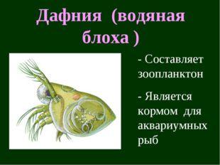 Дафния (водяная блоха ) - Составляет зоопланктон - Является кормом для аквари