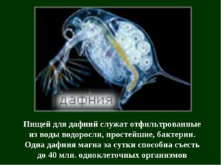 Пищей для дафний служат отфильтрованные из воды водоросли, простейшие, бактер