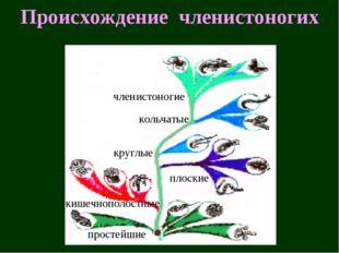 Происхождение членистоногих простейшие кишечнополостные плоские круглые кольч