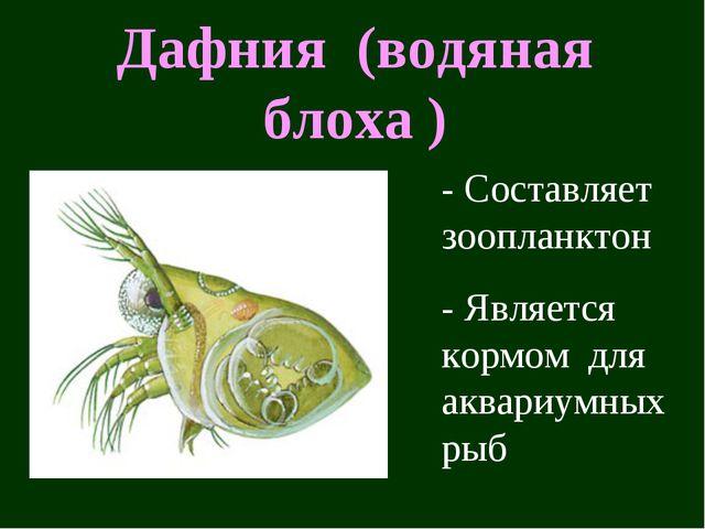 Дафния (водяная блоха ) - Составляет зоопланктон - Является кормом для аквари...