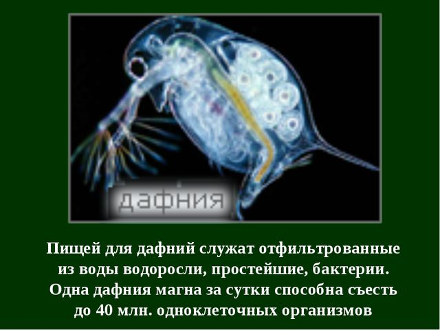 Пищей для дафний служат отфильтрованные из воды водоросли, простейшие, бактер...