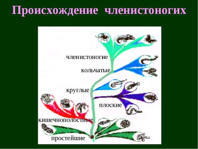 Происхождение членистоногих простейшие кишечнополостные плоские круглые кольч...