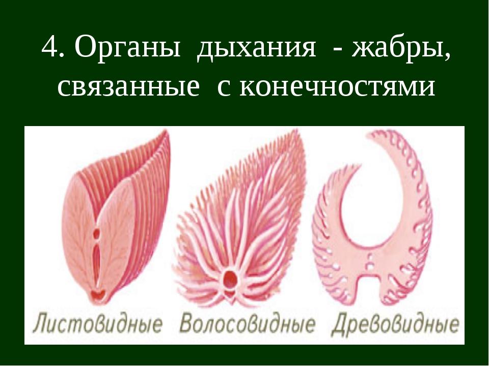 4. Органы дыхания - жабры, связанные с конечностями