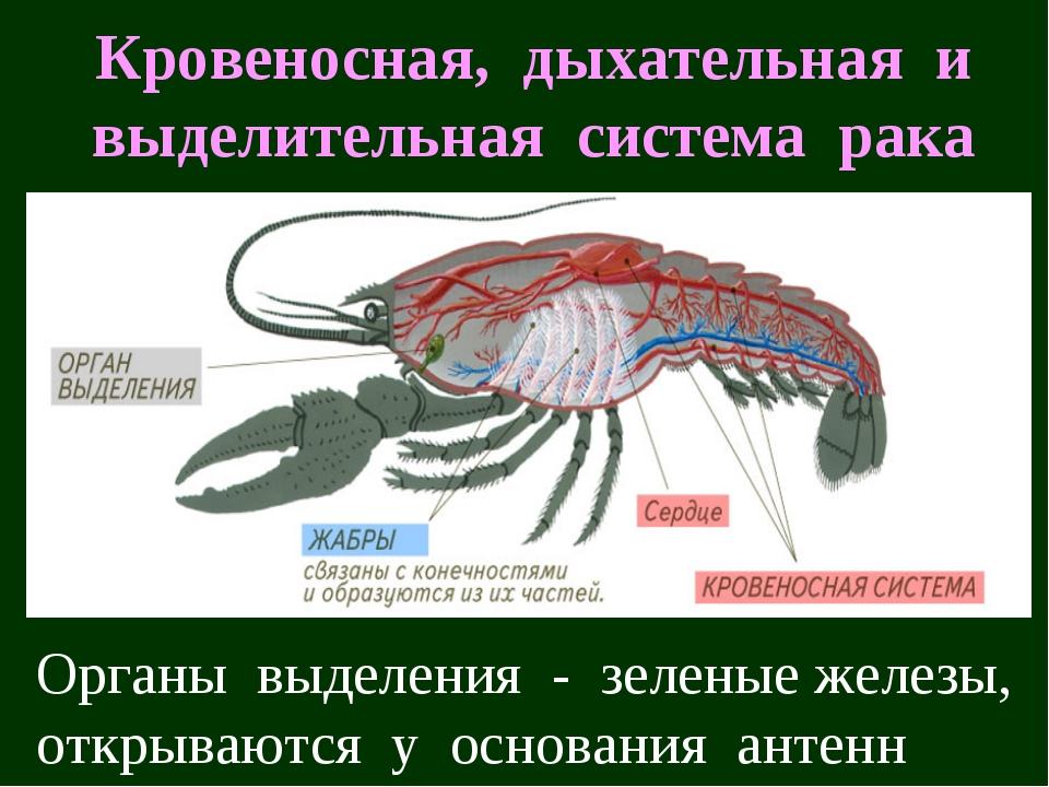 Кровеносная, дыхательная и выделительная система рака Органы выделения - зеле...