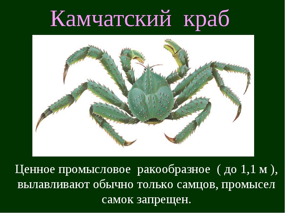 Камчатский краб Ценное промысловое ракообразное ( до 1,1 м ), вылавливают обы...