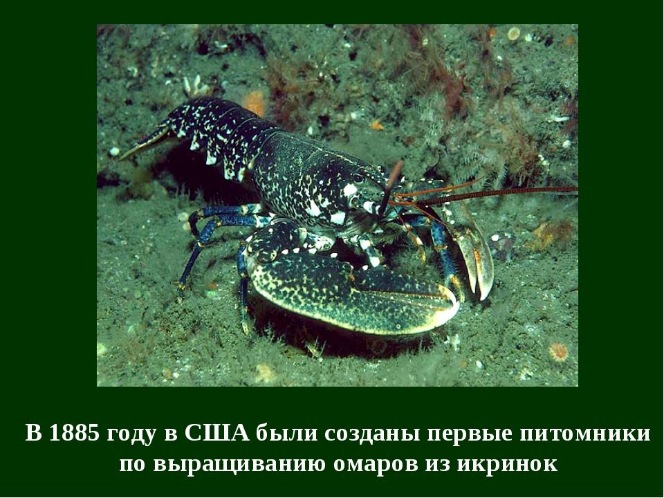 В 1885 году в США были созданы первые питомники по выращиванию омаров из икри...