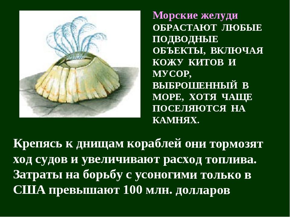 Морские желуди ОБРАСТАЮТ ЛЮБЫЕ ПОДВОДНЫЕ ОБЪЕКТЫ, ВКЛЮЧАЯ КОЖУ КИТОВ И МУСОР,...