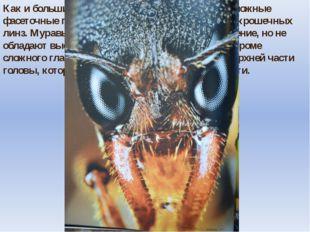 Как и большинство насекомых, муравьи имеют сложные фасеточные глаза, состоящи