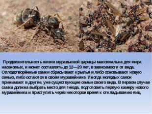 Продолжительность жизни муравьиной царицы максимальна для мира насекомых, и