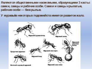 Являются общественными насекомыми, образующими 3 касты: самки, самцы и рабочи