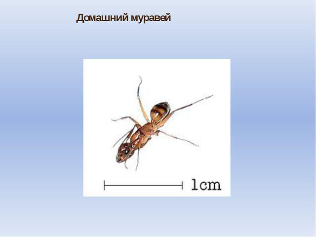Домашний муравей