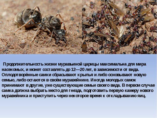 Продолжительность жизни муравьиной царицы максимальна для мира насекомых, и...