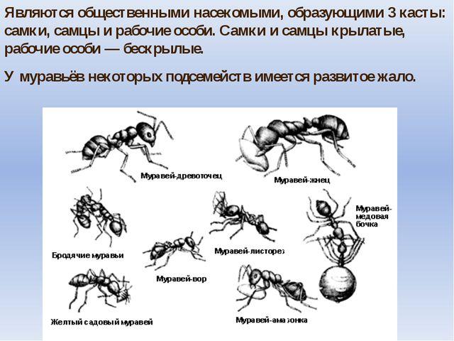 Являются общественными насекомыми, образующими 3 касты: самки, самцы и рабочи...