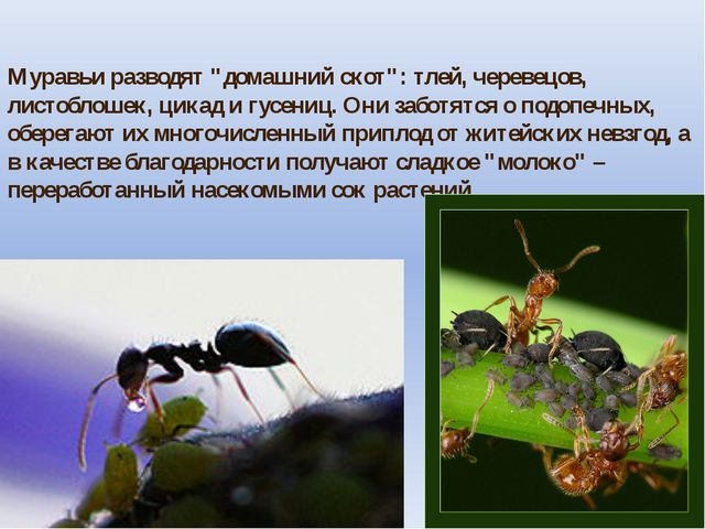 """Муравьи разводят """"домашний скот"""": тлей, черевецов, листоблошек, цикад и гусен..."""