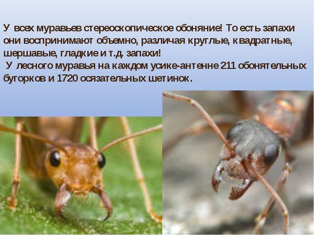 У всех муравьев стереоскопическое обоняние! То есть запахи они воспринимают о...