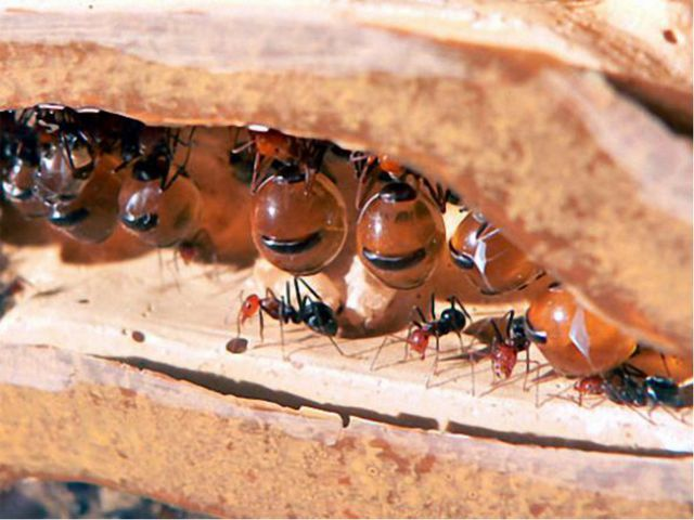 Существуют муравьи-бочки. Североамериканские медовые муравьи из рода мирмекоц...