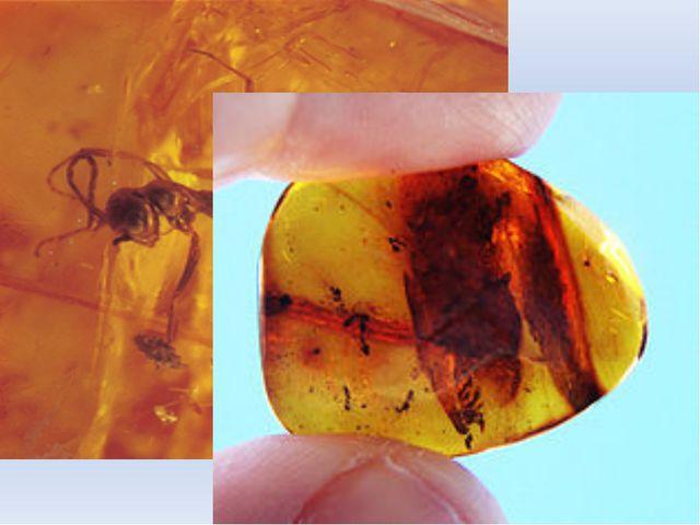 Одним из крупнейших представителей семейства является вид Camponotus gigas, р...