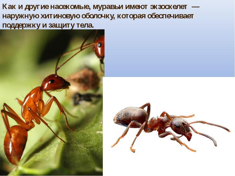 Как и другие насекомые, муравьи имеют экзоскелет — наружную хитиновую оболоч...