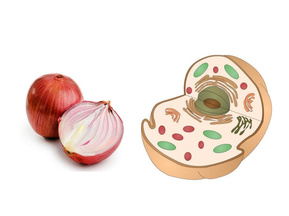 Пияз – Onion – Лук
