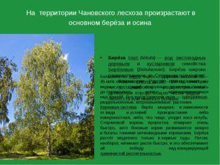 На территории Чановского лесхоза произрастают в основном берёза и осина Берёз